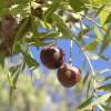 Cherry like fruit cu